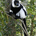 Black And White Ruffed Lemur by Michele Burgess