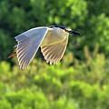 Black-crowned Night Heron by Tam Ryan