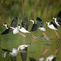 Black-necked Stilts by Tam Ryan