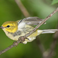 Black-throated Green Warbler by Alan Lenk