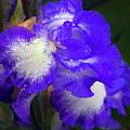 Blue Iris by Elvira Ladocki