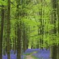 Bluebell Wood by Liz Pinchen