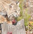 Bob Cat by Dennis Hammer