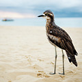 Bush Stone-curlew Resting On The Beach. by Rob D