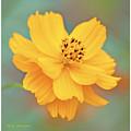 Cosmos Flower In Full Bloom by A Gurmankin
