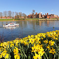 Daffodils Beside The Thames At Hampton Court London Uk by Julia Gavin