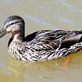 Duck by Anthony Schafer