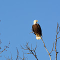 Eagle by Linda Kerkau