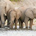 Elephants At The Bank Of Chobe River In Botswana by Marek Poplawski