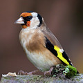 European Goldfinch Bird Close Up   by Simon Bratt Photography LRPS