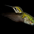 Female Ruby-throated Hummingbird by Robert L Jackson