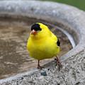 Goldfinch by Lori Tordsen