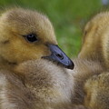 Goslings by Eye to Eye Xperience