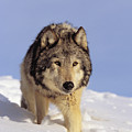 Gray Wolf by John Hyde - Printscapes