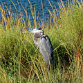 Great Blue Heron by Bill Hosford