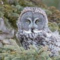 Great Gray Owl by Mike Timmons
