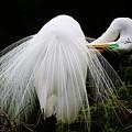 Great White Egret Preening by Paulette Thomas