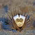 Greater Sage-grouse by Gary Wing