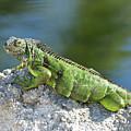Green Iguana by Svetlana Foote