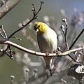 Img_0001 - American Goldfinch by Travis Truelove