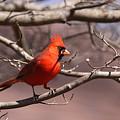 Img_0001 - Northern Cardinal by Travis Truelove