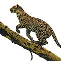 Leopard Panthera Pardus Climbing by Panoramic Images