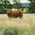 Longhorn Cow In The Paddock by Rob D