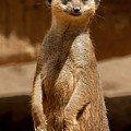Meerkat by FL collection