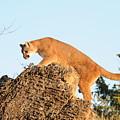 Mountain Lion by Dennis Hammer
