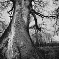 Old Tree by Ulisse Bart
