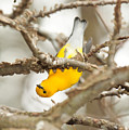 Prothonotary Warbler by Eric Abernethy