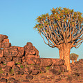 Quiver Tree Forest - Namibia by Joana Kruse