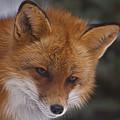 Red Fox by Diane Jensen