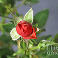 Red Rose Blooming by Ted Kinsman