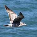 Seagull by Jim Thompson