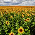 Sunflowers by Tino Lehmann