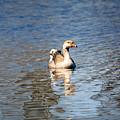 Swan by Linda Kerkau