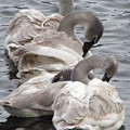 4 Swans by Laurie With