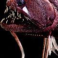 Threadfin Dragonfish by Dant� Fenolio