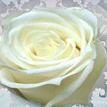 Wedding Rose Collection  by Debra     Vatalaro