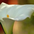 White Calla by Heiko Koehrer-Wagner