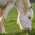 White Horse by Angel Ciesniarska