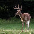 4 X 4 Buck by Andrea Silies