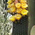 Yellow Cactus Flowers by Jim And Emily Bush