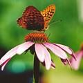 #416 14a Butterfly Fritillary, Coneflower Lunch Break Good Till The Last Drop by Robin Lee Mccarthy Photography
