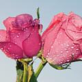 Two Roses by Elvira Ladocki