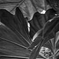 4327- Leaf Black And White by David Lange