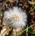 Australia - Blow And Make A Wish Flowers by Jeffrey Shaw