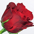 Red Rose by Elvira Ladocki