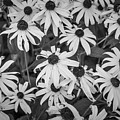 4400- Daisies Black And White by David Lange